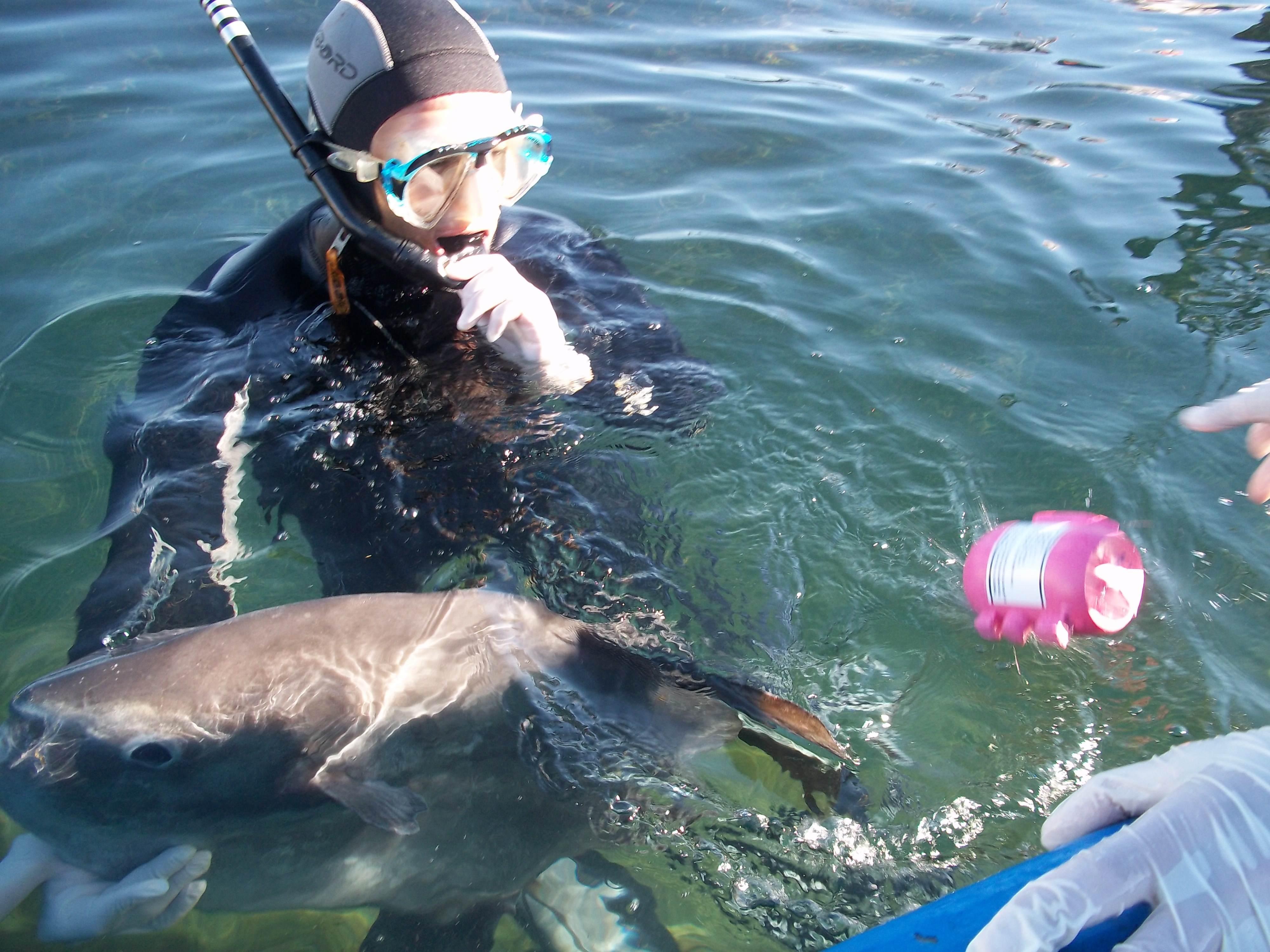 Aluna de Doutoramento em biologia da UPorto Lara Sousa do CIBIO, na rede de pesca de Atum a marcar um Mola vivo para testes. O objectivo é testar como os marcadores resistem às condições no mar e ter uma ideia de como o peixe se poderá comportar ao longo do tempo.